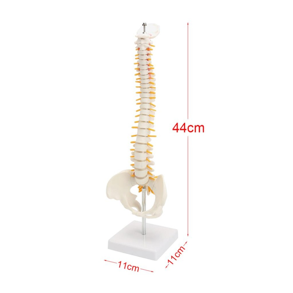 45 cm mänsklig ryggrad med pälsmodell, mänsklig anatomisk anatomi - Skola och pedagogiska förnödenheter - Foto 2