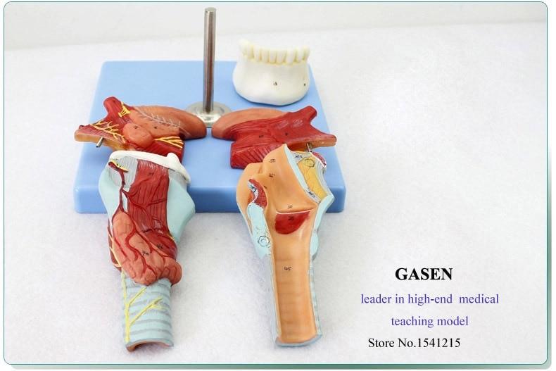 Medical Human Teeth Throat Tongue Model Laryngeal Anatomy Tongue