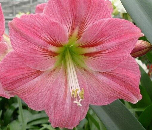 3pcs A Set Sweet Dark Pink Color Hippeastrum Rutilum Amaryllis