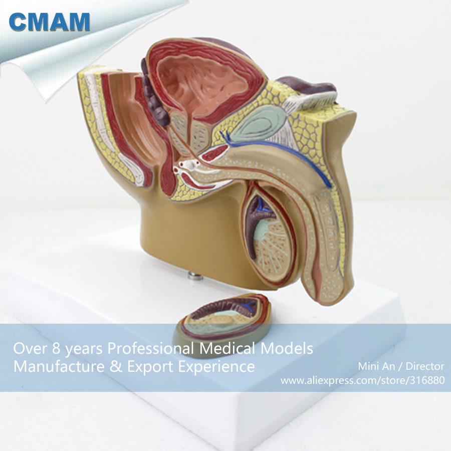 12457 / CMAM-ANATOMY19 Mid-sagittal Section with Prostate Male Pelvis Model ,  Medical Science Educational Anatomical Models12457 / CMAM-ANATOMY19 Mid-sagittal Section with Prostate Male Pelvis Model ,  Medical Science Educational Anatomical Models