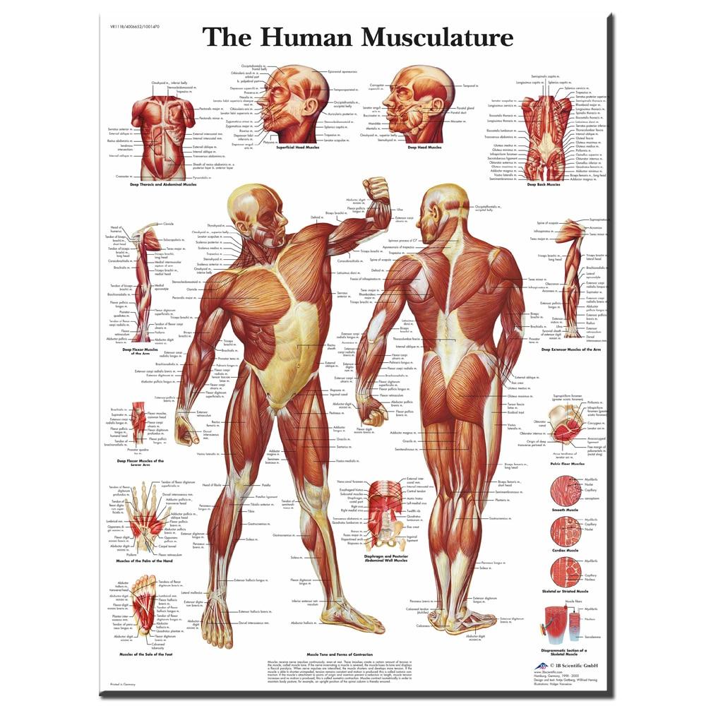 Xdr611 Mapas humanos Cuerpo sistema muscular Classic vintage retro ...