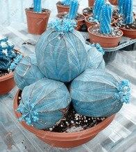 100pcs Blue Echinocactus Grusonii Succulent Cactus Seeds