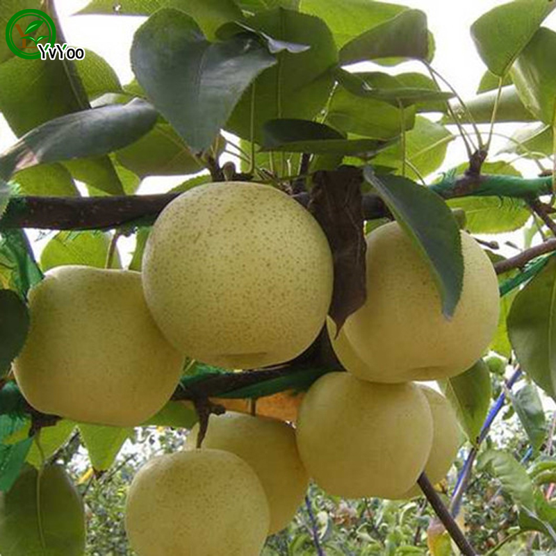 online buy wholesale pears trees from china pears trees