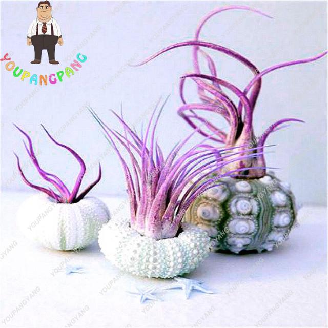 100pcs Air Plant bonsais Cactus Jardin Bonsai Plantas Rainbow Grass For Garden Decoration New