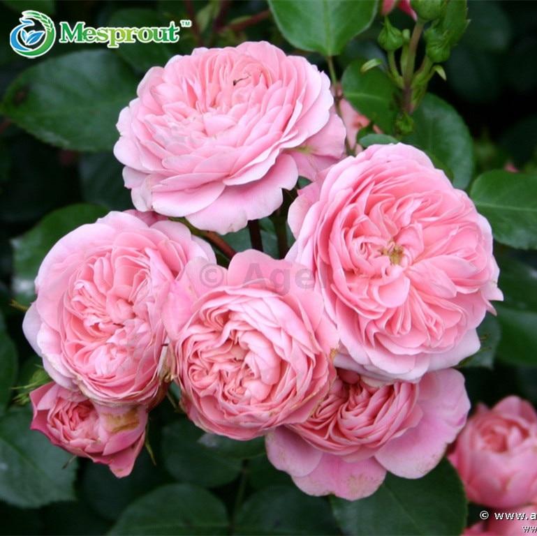Buy rose seeds climbing plants - Rosas chinas ...