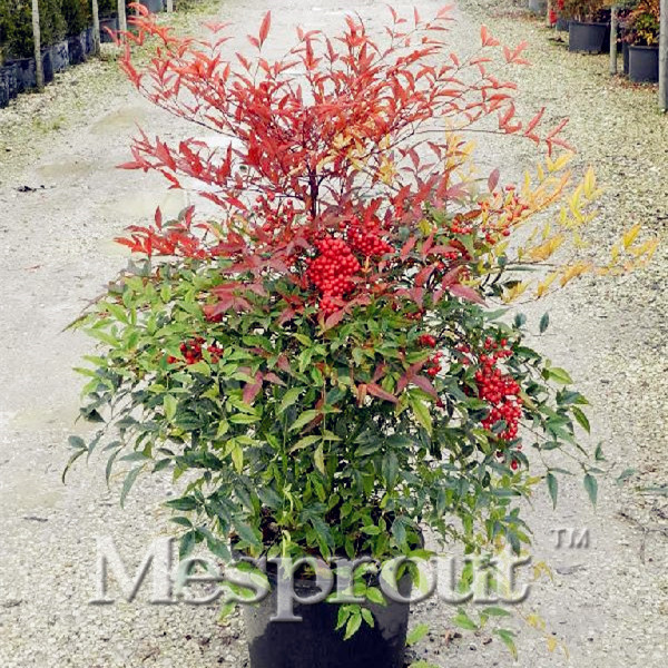 Popular nandina domestica plant buy cheap nandina for Plante nandina
