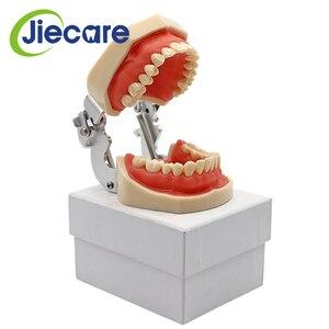 Image 5 - Abnehmbare Dental Modell Dental Zahn Anordnung Praxis Modell Mit 28 stücke Dental Granulat und Schraube Lehre Simulation Modell
