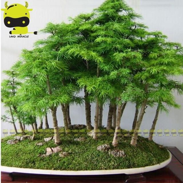 Belle Chinois Juniper, 50 Graines/Pack, Juniperus Chinensis Bonsaï
