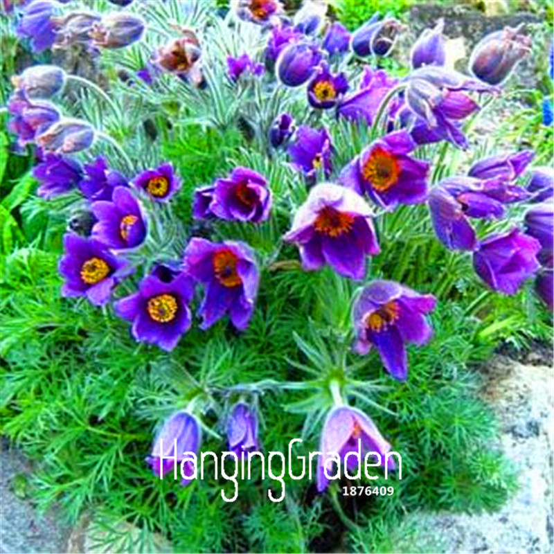 Online Buy Wholesale pasque flower plant from China pasque ...