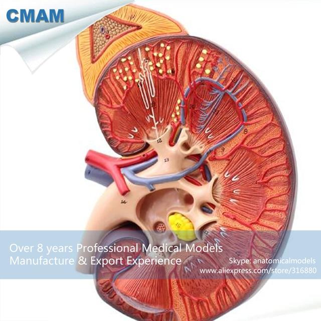 12430 CMAM KIDNEY01 Medical Anatomie Menschlichen Niere Modell auf ...