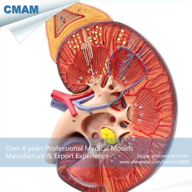 12430 CMAM KIDNEY01 Medical Anatomy Human Kidney Model on Stand 3x ...
