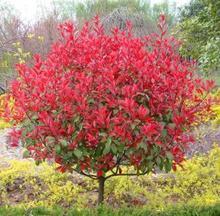 Popular photinia plant buy cheap photinia plant lots from - Photinia serrulata red robin ...