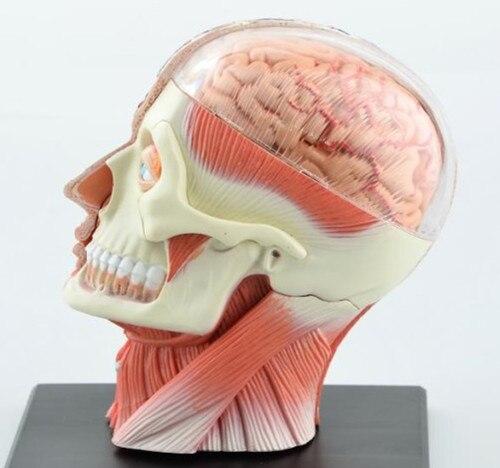 Dental lab Dentist 4D Human Head Anatomy Medical skull model skeleton Ever after high dolls