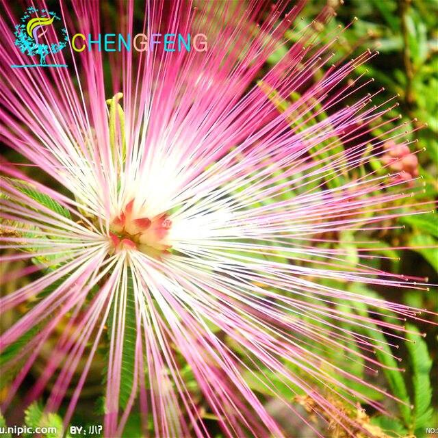 Online shop 20 pcs bonsai albizia flower bonsai called mimosa silk 20 pcs bonsai albizia flower bonsai called mimosa silk tree bonsai rare garden potted plants rainbow flowers pot diy plant gif mightylinksfo
