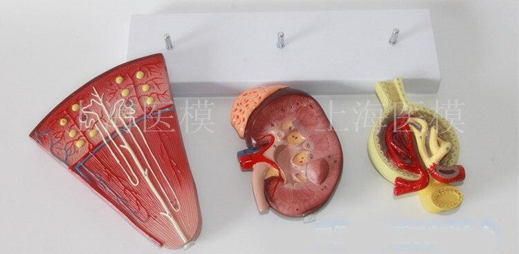 3 stücke Niere und Harnwege Modell nephron modell glomerular nieren ...