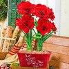 100pcs Blue Hippeastrum Flower Bonsai Plants (not bulbs) Perennial Indoor Flowering Potted Big Flower Home Garden 2