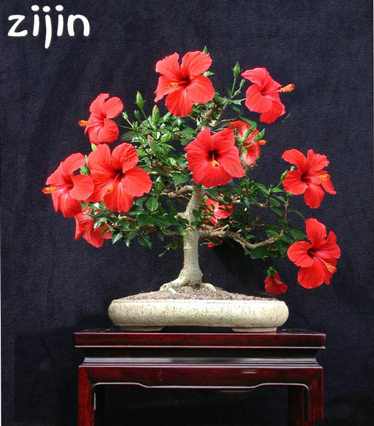 Top 9 Most Popular Hibiscus Tree List And Get Free Shipping Nn4c7e23