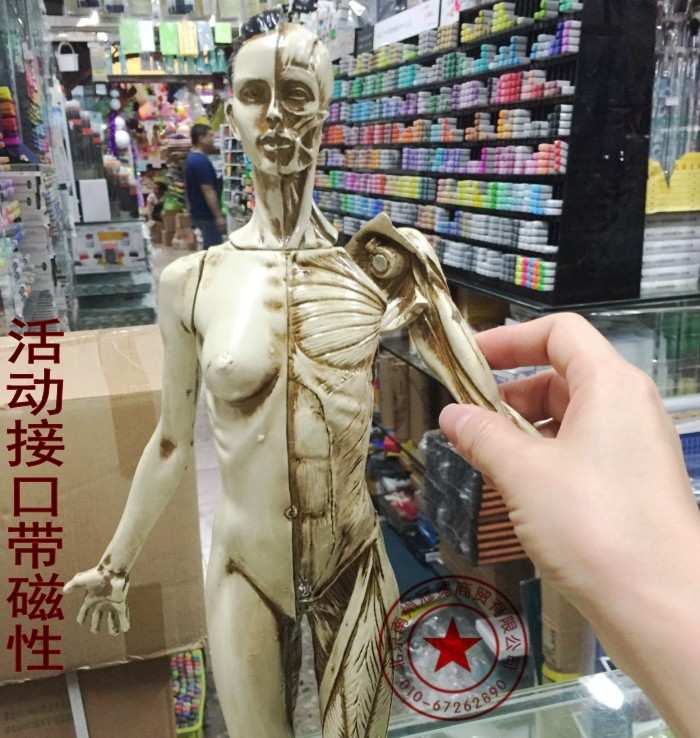 US $118 92 |Free shipping 45cm human musculo skeletal Anatomical sculpture  medical reference 3Dmax model CG design painting by copying Arts-in Medical