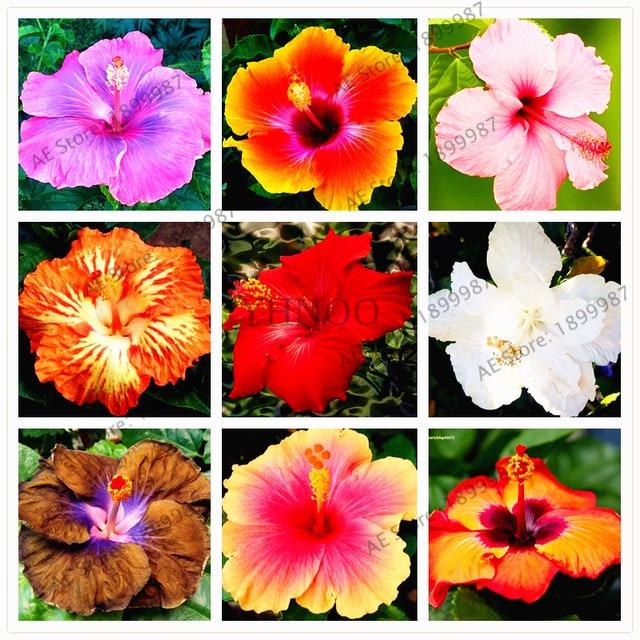 100 pcs/sac, Hibiscus flores, 24 couleurs Hawaï bonsaï en pot ...