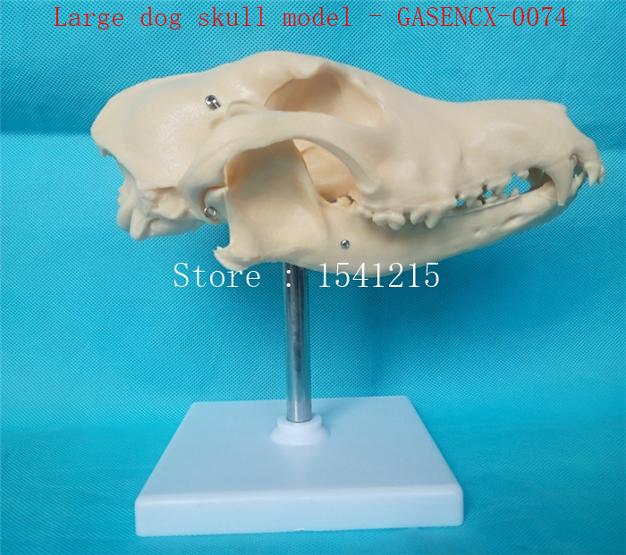 Animal skeleton anatomy model veterinary Medical teaching aids Pet Dog anatomical Large dog skull model - GASENCX-0074 animal skeleton model animal anatomy model veterinary specimens bones skeleton model animal dog spine model gasencx 0076