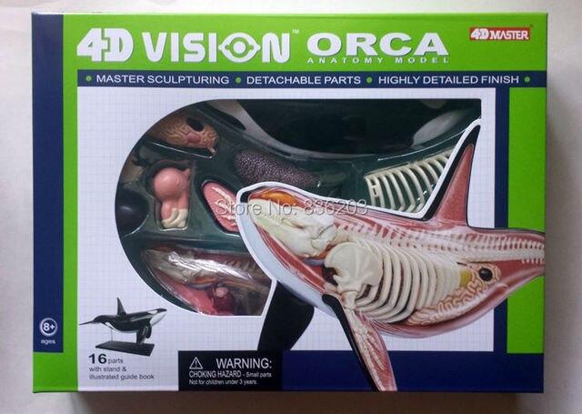 4D maestro orca anatomía disección cráneo cerebro anatómico anatomía ...