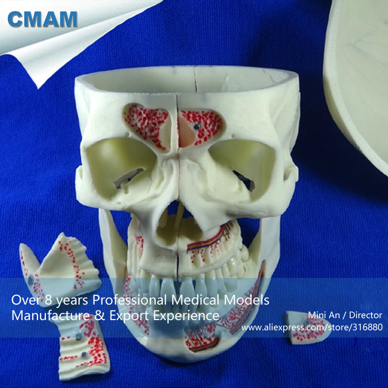 CMAM-DENTAL10 Human Medical Anatomical Adult Osteopathic Skull Model, 10-Part Bone Color cmam dental16 child dental education 3 6 age graghically developing model