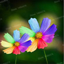 Hot Sale 200pcs/bag Rainbow chrysanthemum seeds Rare beautiful flower seeds daisy seeds bonsai plant for home garden