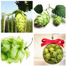 50 pcs/ bag Exotic Hops Plant Humulus Lupulus Outdoor The Brewing Beer Plant or Tea Herb Brew GERMAN MAGNUM HOP Free Shipping(China)