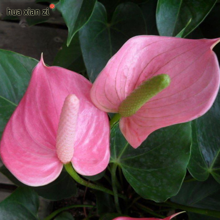 эухарисцветок в горшке комнатное растение заказать на aliexpress