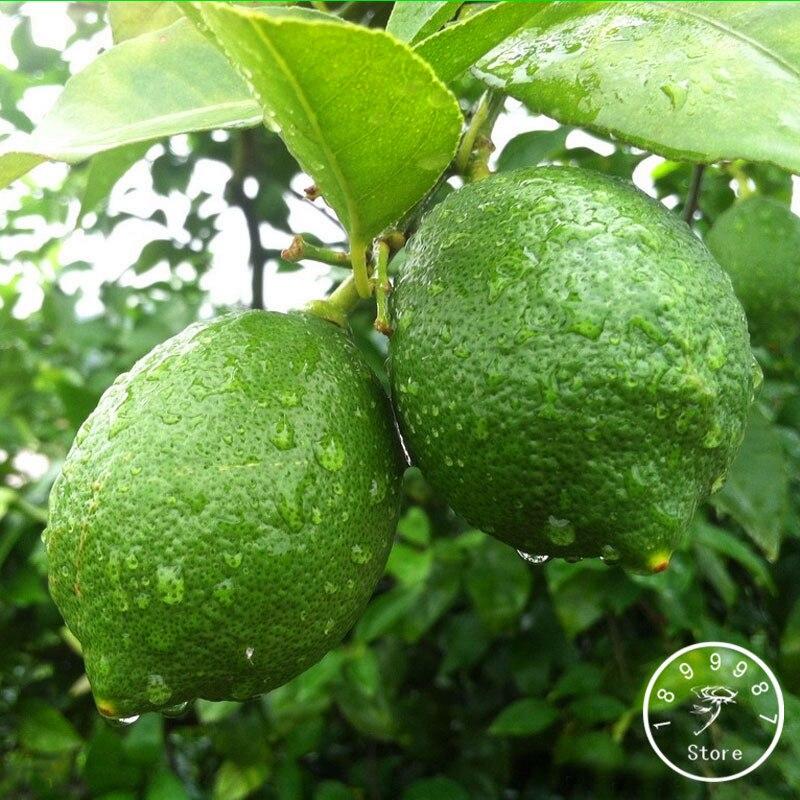 Online get cheap green citrus fruit for Buy lemon seeds online
