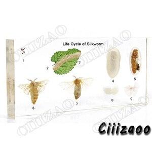 Image 2 - Ipekböceğinin yaşam döngüsü numune paperweight tahnitçilik koleksiyonu gömülü temizle Lucite blok gömme örneği