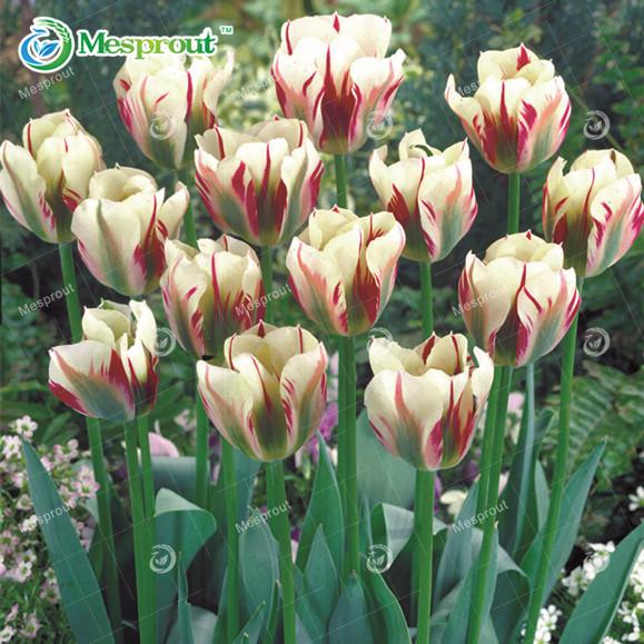 Семена тюльпана для сада фото