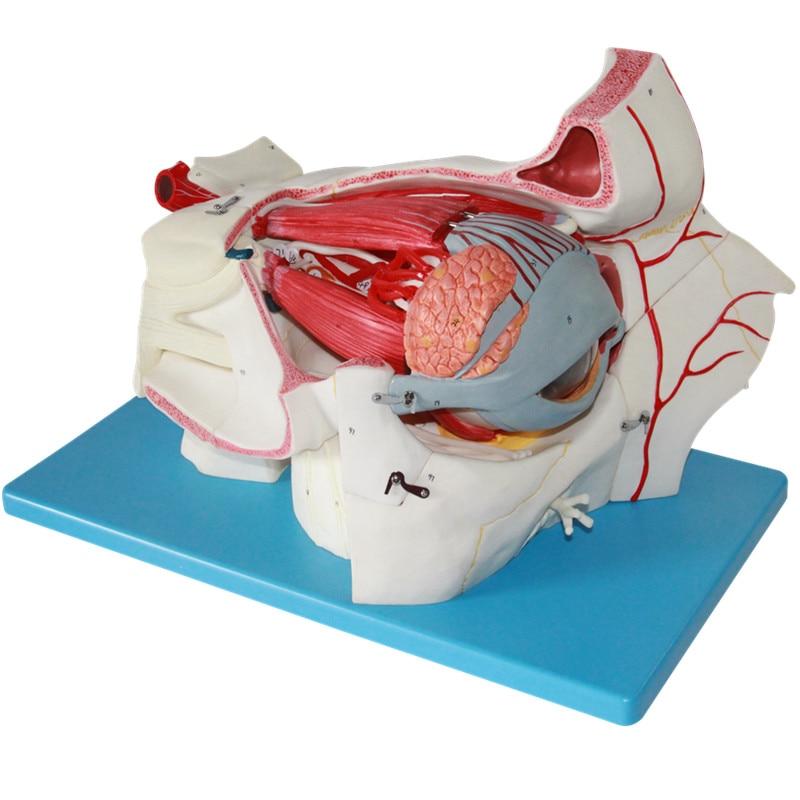 HeyModel Medical Human Heart Enlargement Anatomical Model B Cardiology B Ultrasonography Ultrasound Tape 1:2 1 1 human anatomical respiratory system heart lung organ medical teach model school hospital