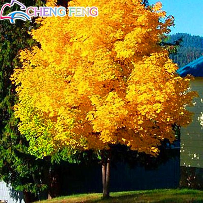 Comparer les prix sur Gold Maple Tree - Online Shopping / Acheter ...