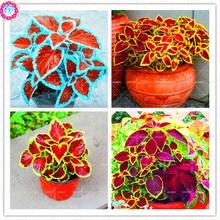 100 pcs/bag Rare Coleus  seeds blumei Rainbow Mix Color Flower Seeds for Home Garden Indoor bonsai plants color Lips