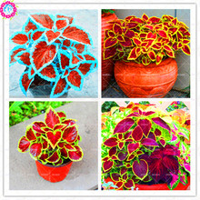 Buy 100 pcs/bag Rare Coleus  seeds blumei Rainbow Mi online