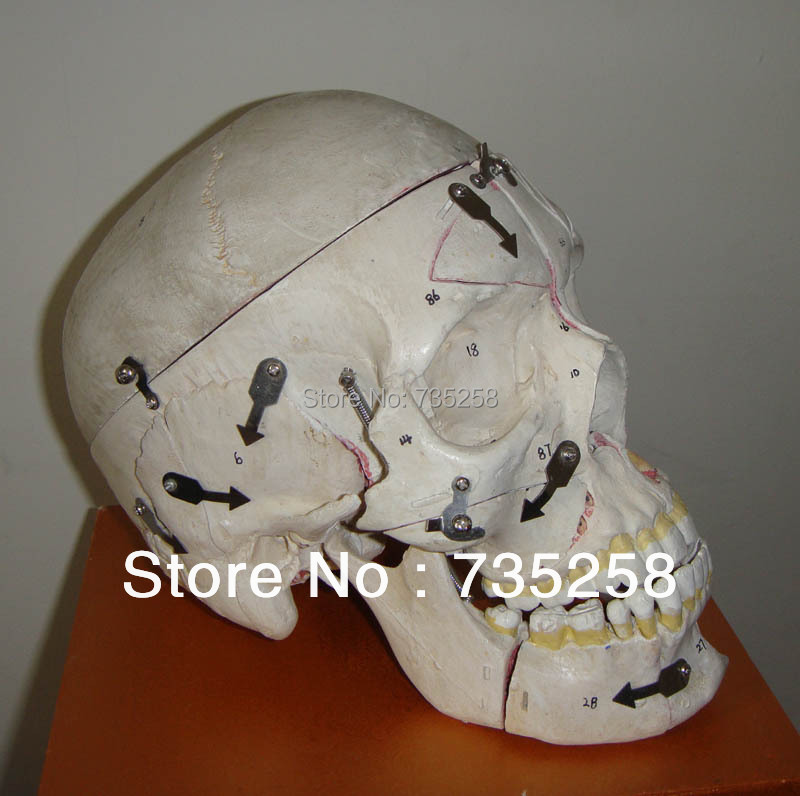 2013 New Product Adult Skull With Neurovascular Model airbox 2013