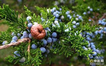 1000g 10:1   juniper berry extract