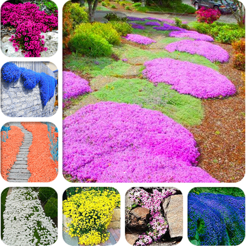 New! 500 pcs Rare Color ROCK CRESS Plant, Creeping Thyme Bonsai, Perennial Ground Cover Flower potted plants For Home Garden