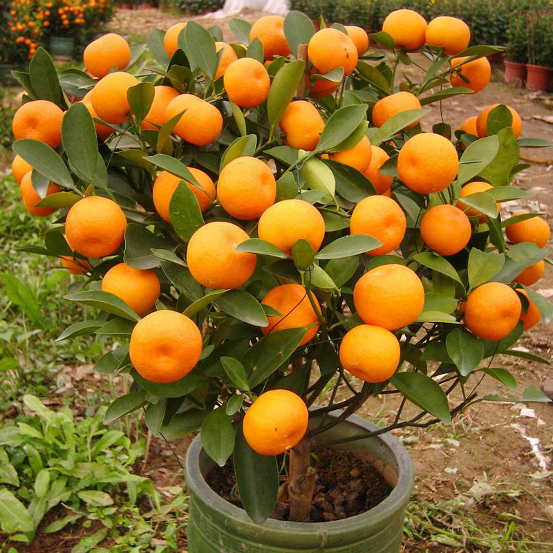 20pcs/bag orange seeds climbing orange tree seed bonsai Organic fruit seeds Like Christmas tree pot for home garden plant