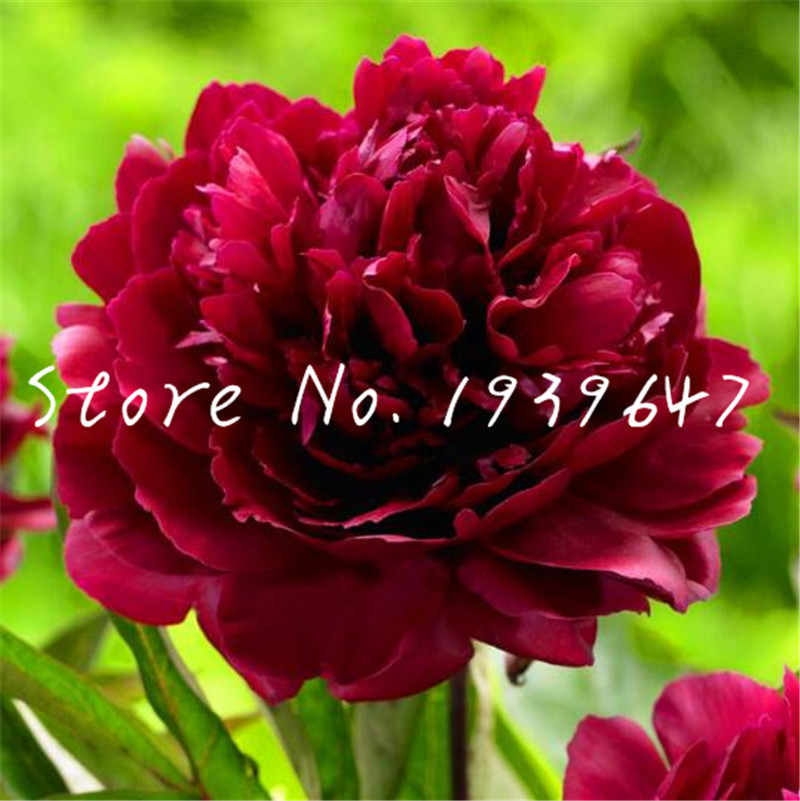 10 pcs/bag Peony plants Chinese Garden Bonsai Peony Flower plants Beautiful Potted Plants bonsai For Home Jardin, Easy to Grow