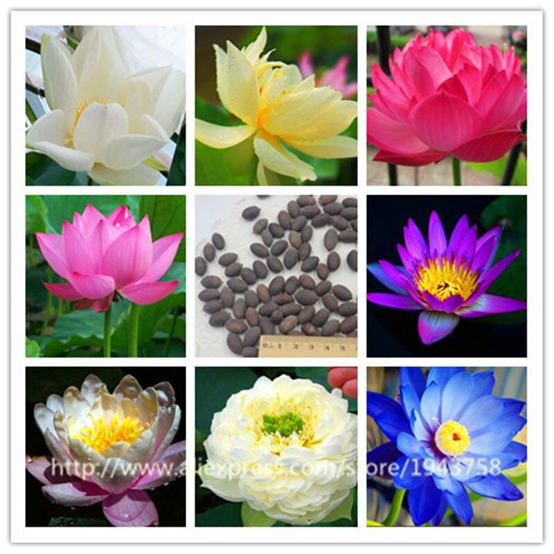 Семена водяной лилии