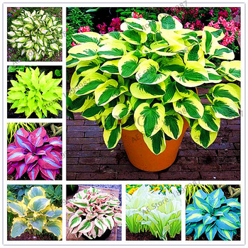 beautiful  Hosta Plants Perennials Lily Flower Shade Hosta Flower