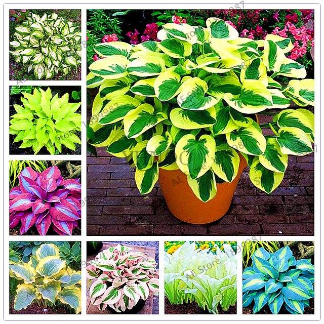 Super 150 stks/zak mooie Hosta Planten Vaste Planten Lelie Bloem Schaduw @MA69