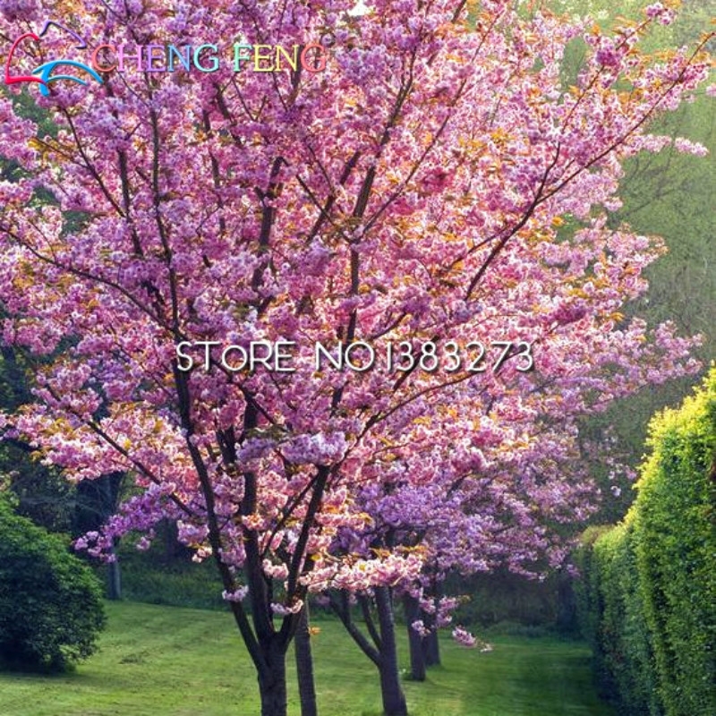 50 japanese cherry tree pink cloud oriental sweet prunus serrulata 50 japanese cherry tree pink cloud oriental sweet prunus serrulata flower seeds in bonsai from home garden on aliexpress alibaba group mightylinksfo