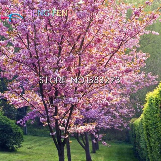 50 Anese Cherry Tree Pink Cloud Oriental Sweet Prunus Serrulata Flower Seeds