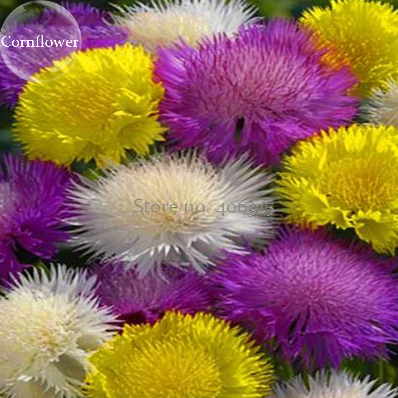 Rare Beautiful Colorful Cornflower Flowers 50 Mixed Seeds Nice
