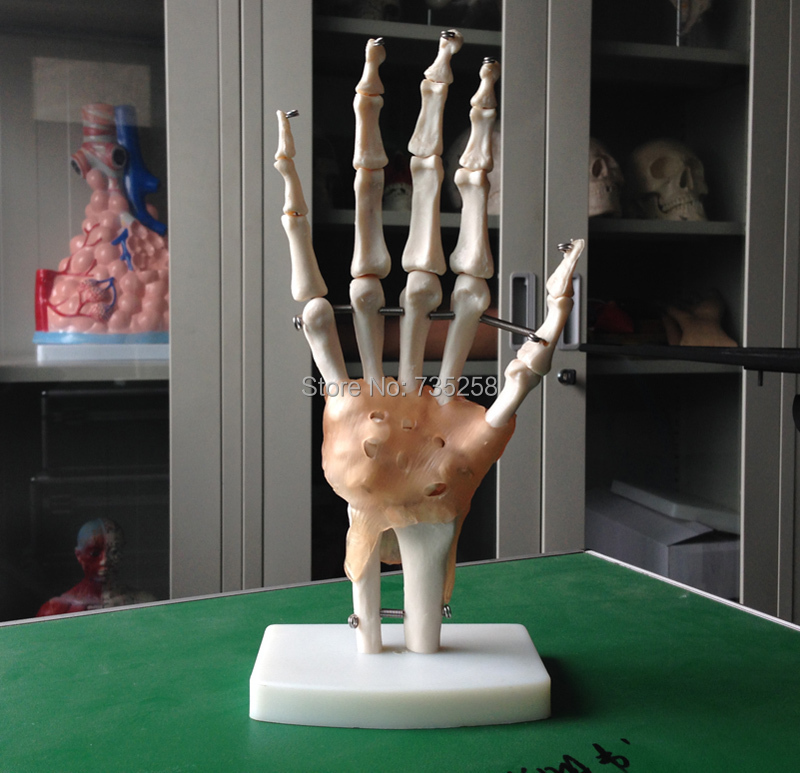 Life-Size Hand Joint with Ligaments,The palm of your hand with ligament model life size hand joint with ligaments the palm of your hand with ligament model