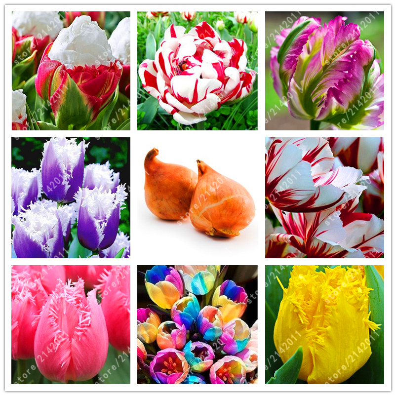 2 bulb true tulip bulbs Not Tulip Seeds Tulips Variety Fresh Bulbous Root Flower Corms Planted