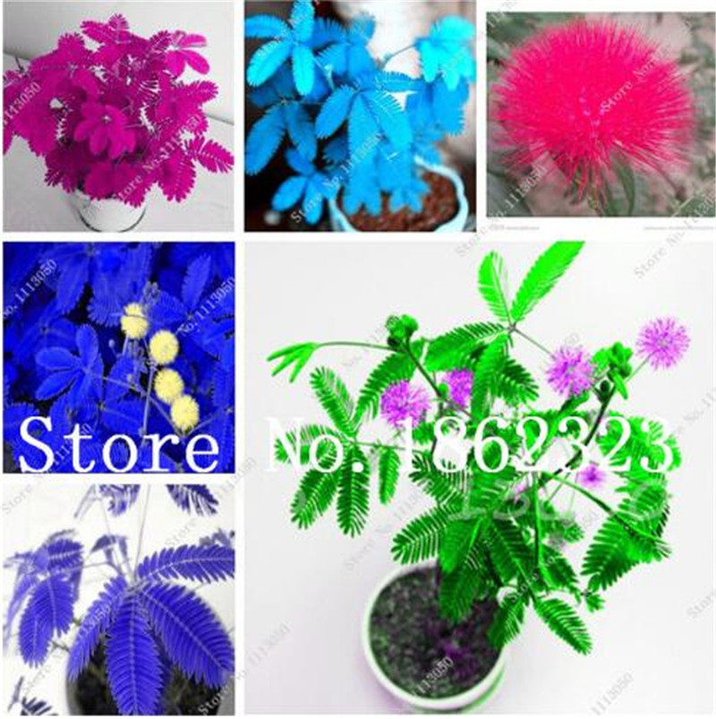 100 Pcs Mimosa Pudica Bonsai, Balcony Flower Potted Plants Foliage Plants Predict Earthquakes Fun Bashfulgrass Mixed Colors